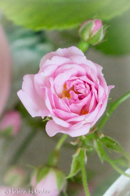 Omas Rose, Helene Holunder